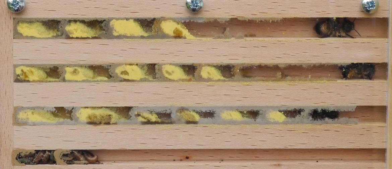 was machen wildbienen eigentlich im winter schleswig. Black Bedroom Furniture Sets. Home Design Ideas