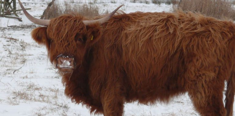 Ein richtig dickes Fell – Huftiere im Stiftungsland kommen ohne Mantel und Stall durch Schnee und Eis