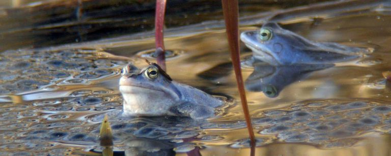 Ein Teich für den Laich – Für die Amphibieninitiative der Stiftung Naturschutz Schleswig-Holstein legt Erhard Litzendorf heute neue Teiche an