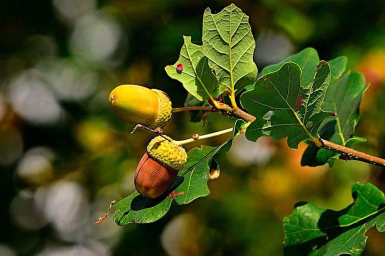 Die Eiche: biologische Einordnung – mythologische Bedeutung – kulinarische Verwendung