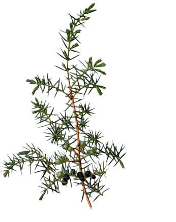 Wacholder – Juniperus