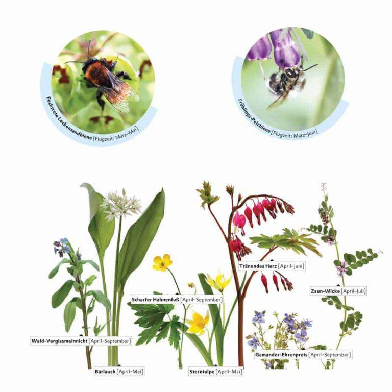 Wildbienen und Blühpflanzen im April
